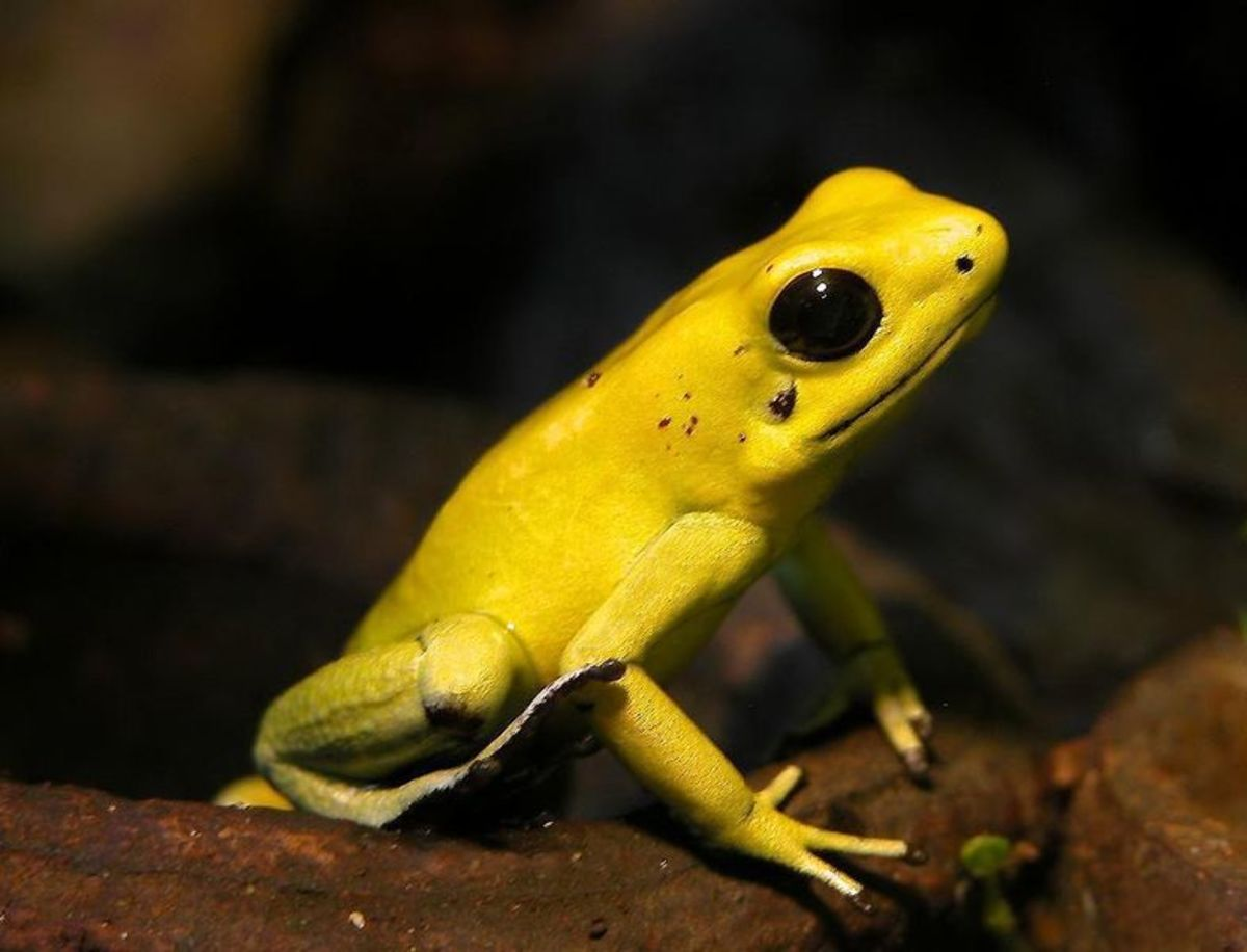 Golden Dart Frog - an extremely poisonous frog on earth found in Amazon rain forest.