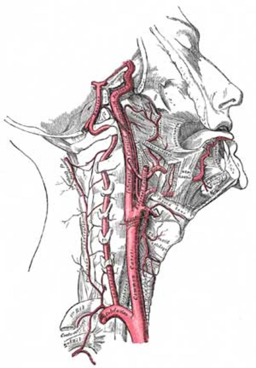 The approximate position of the carotid atery.