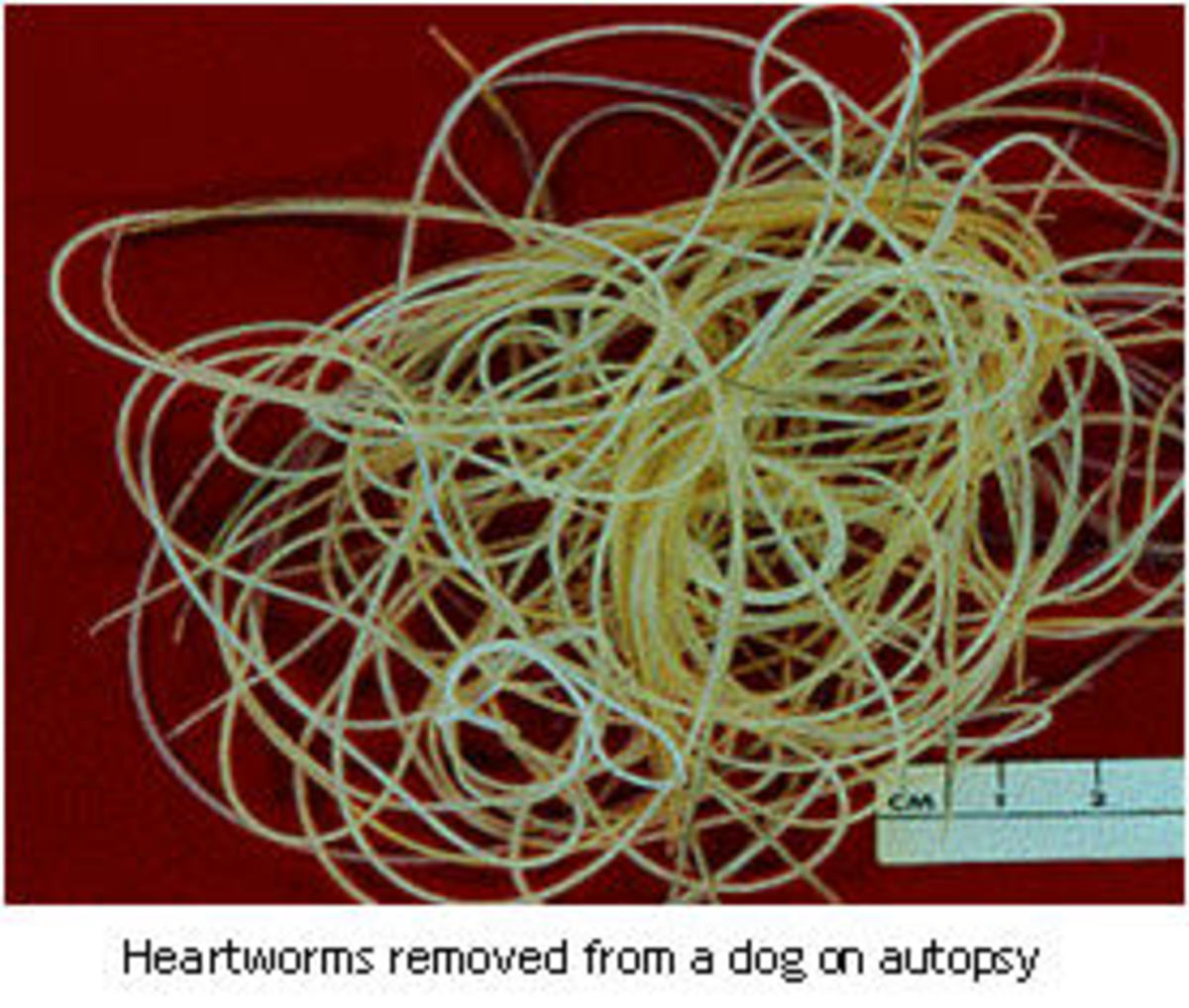 This is what heartworms look like