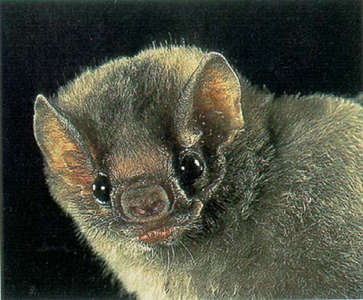 Wilson, Don E. Bats in Question: The Smithsonian Answer Book. Washington and London: Smithsonian Institution P, 1997. p. 8