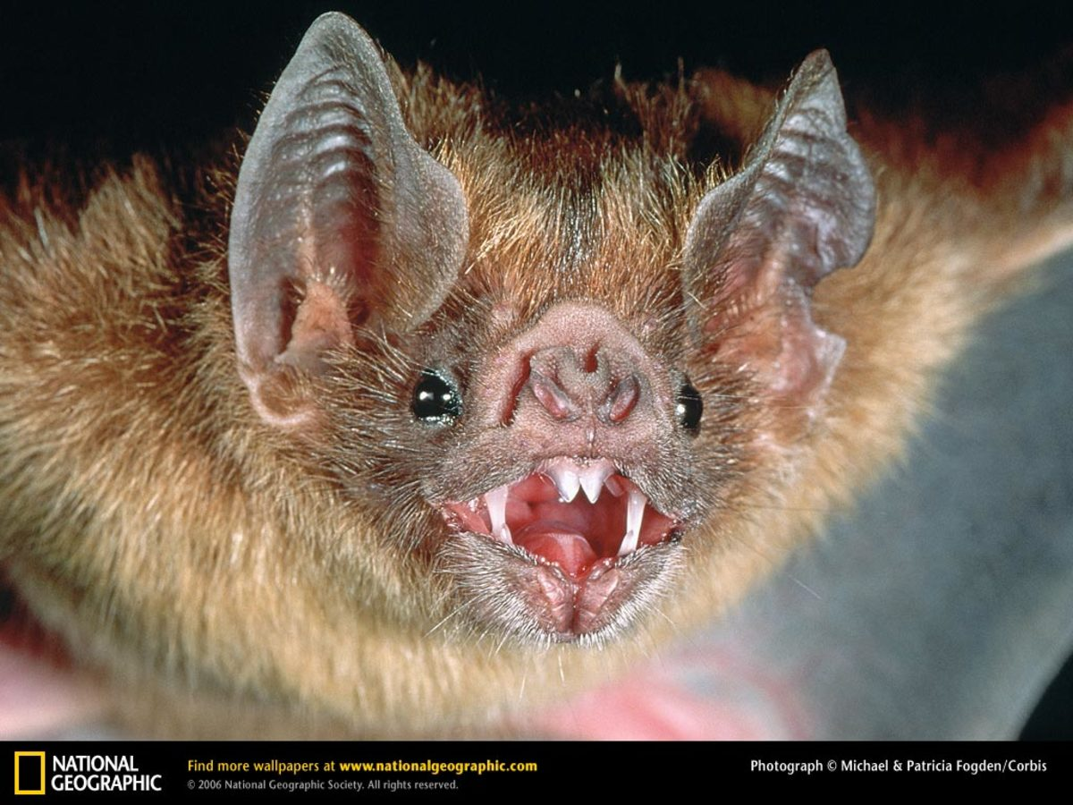 Vampire Bats - Common, White Winged and Hairy Legged Blood Suckers