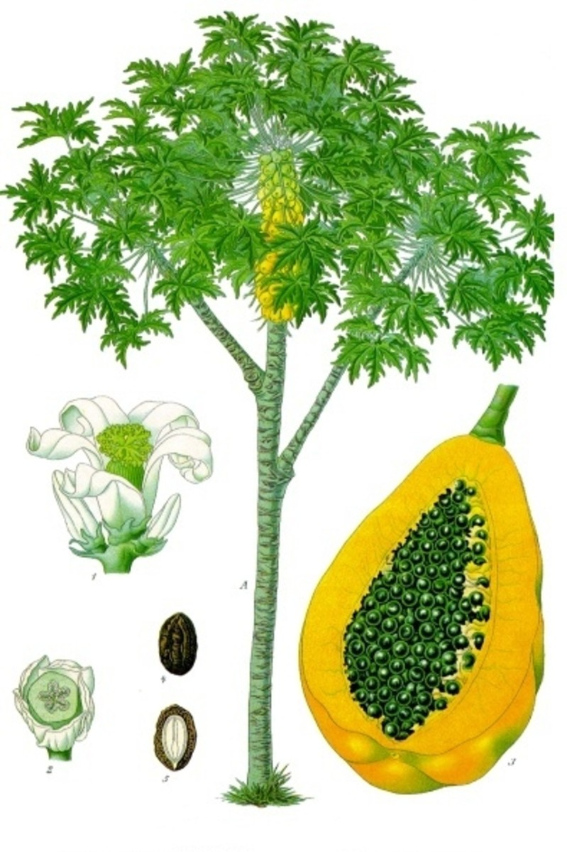 Illustration of Carica papaya published by Franz Eugen Kohler.  Source Wikimedia Commons, Creative Commons Share-Alike License.