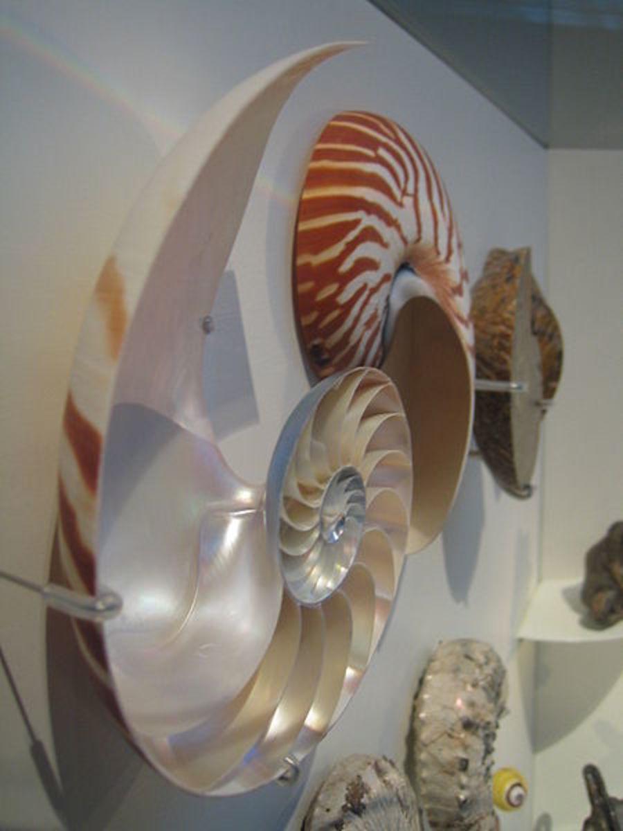 Nautilus shells in Cosmocaixa, Barcelona
