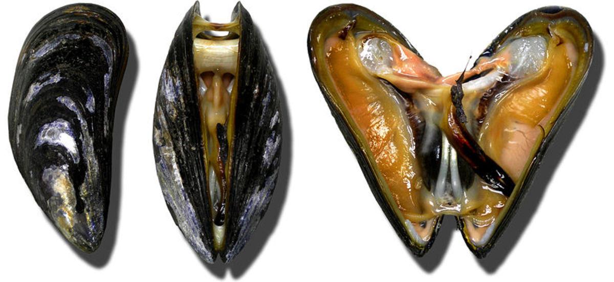 Moules Miesmuscheln mussel