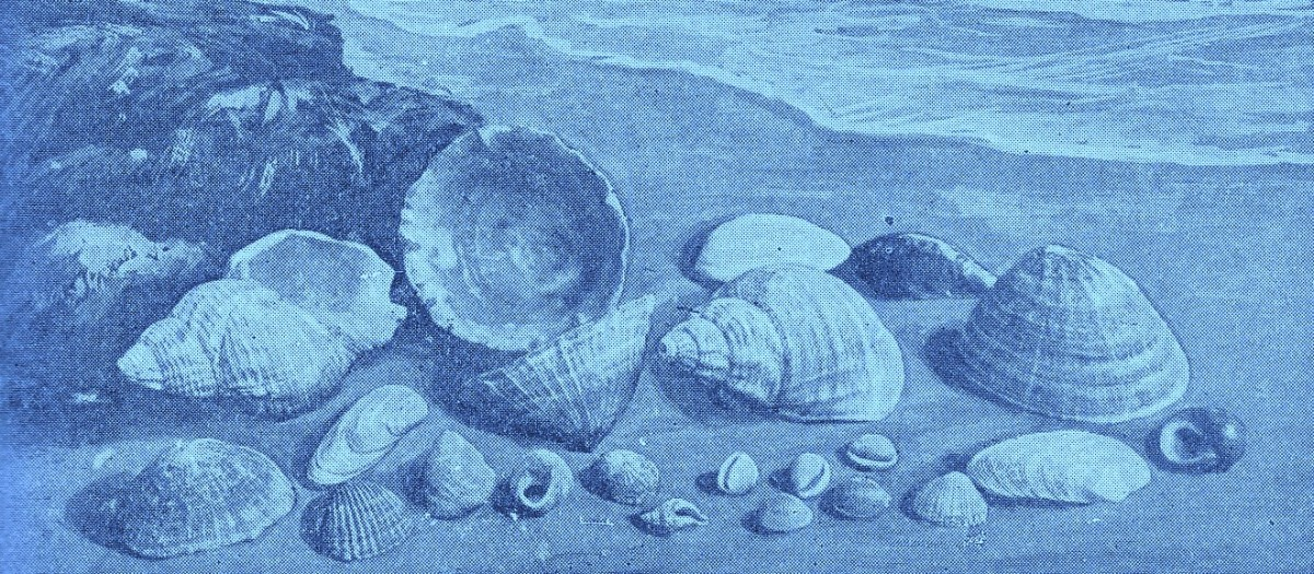Drawing of various sea shells