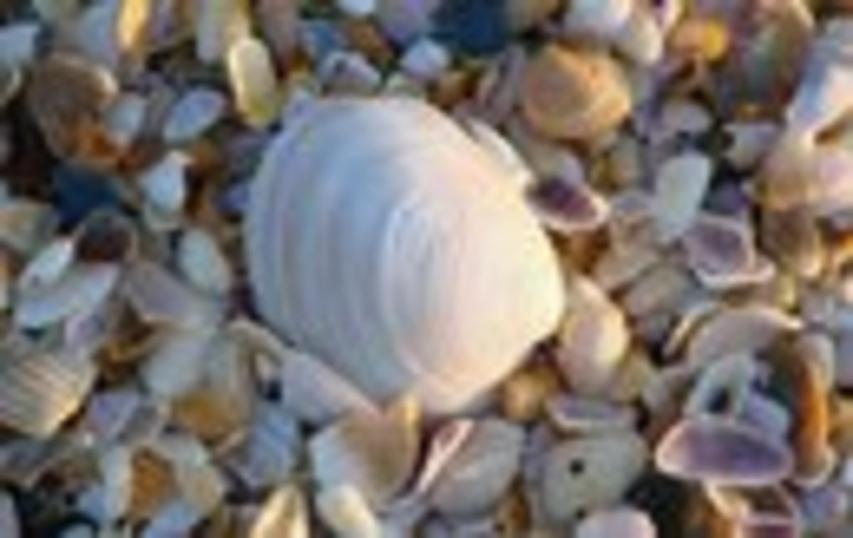 Shells from New Smyrna Beach, Florida
