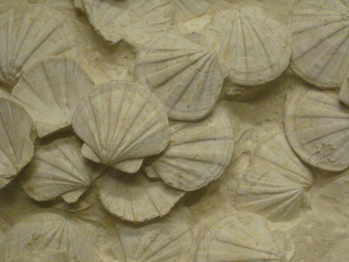 The Shell Fossil These beautifully preserved fossilised scallop shells are on display in the foyer of the Royal Festival Hall. They are from the Burdigalian Period and are about 18 million years old. They came from Apt in Provence and were donated by