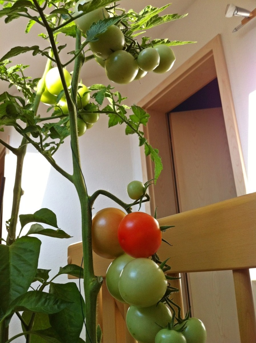 You can easily grow tomatoes indoors at a south facing window. Give your tomato plant banana peelings, egg shells, and coffee grounds. Put them in small holes around the plant and cover them. You'll grow great fresh tomatoes.