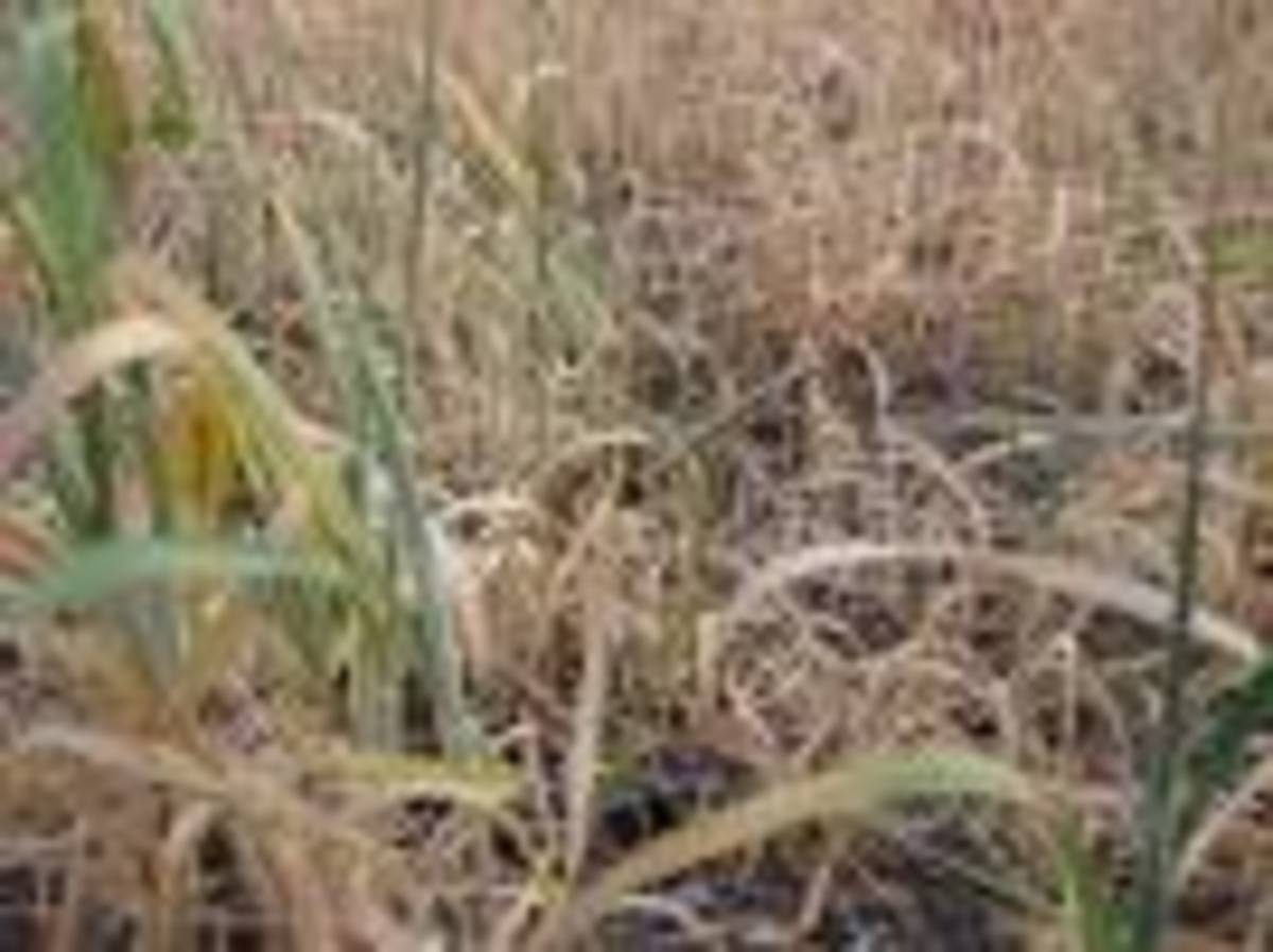 Failed wheat crops