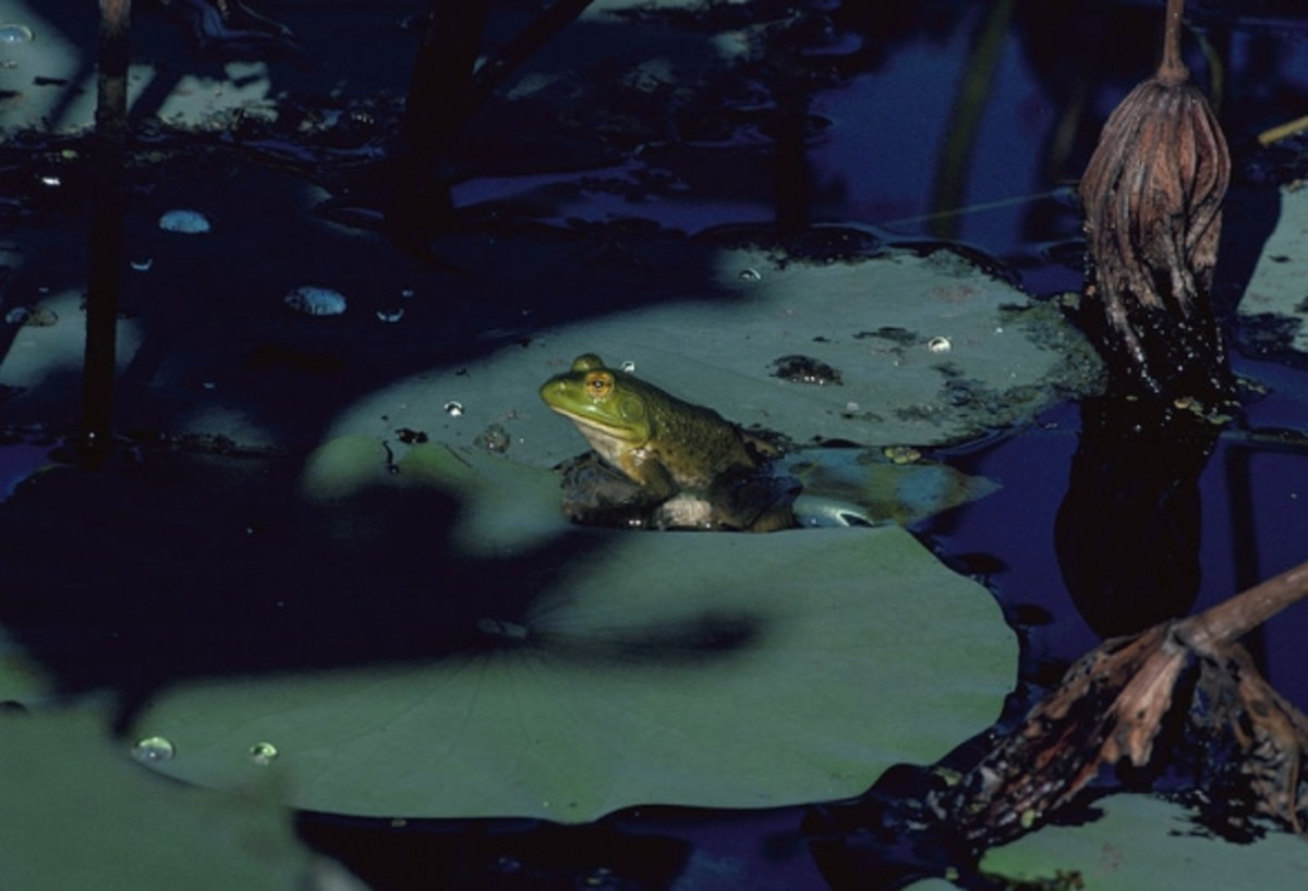 Bullfrog on Lilypads