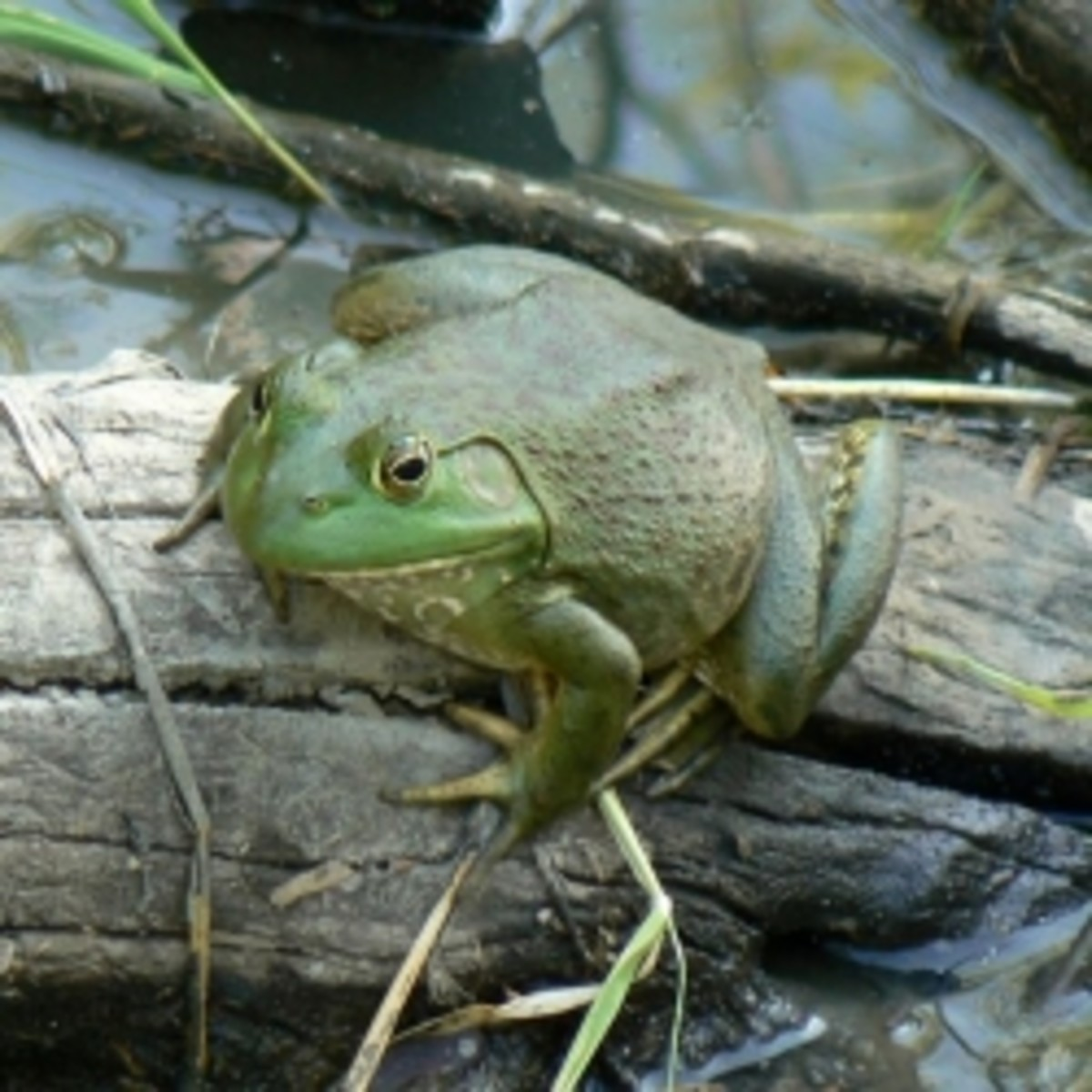 Bullfrogs of Louisiana