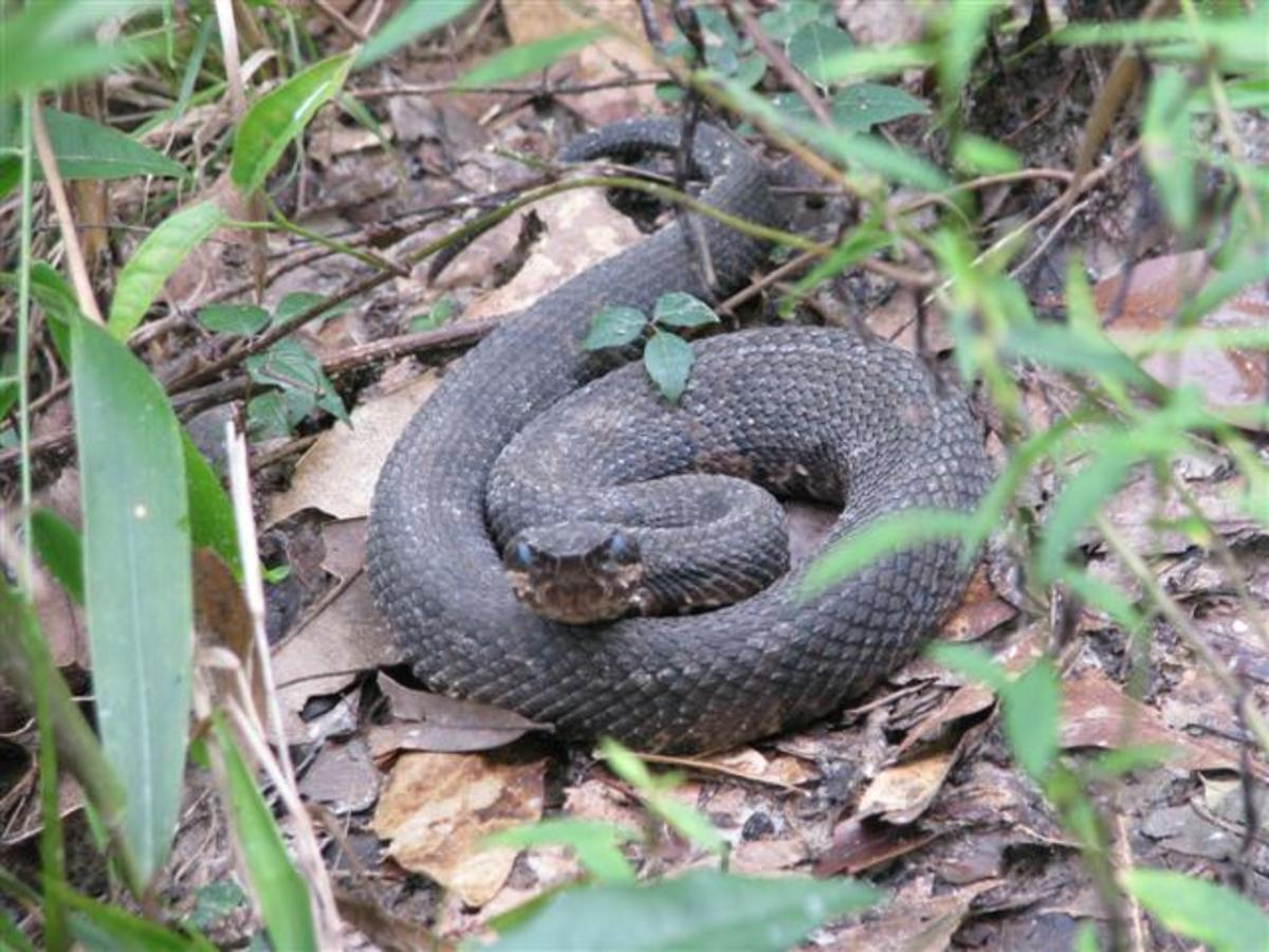 This coiled cottonmouth has cloudy eyes, an indication that it will soon shed its skin. They can't see well at this time and are more likely to strike.