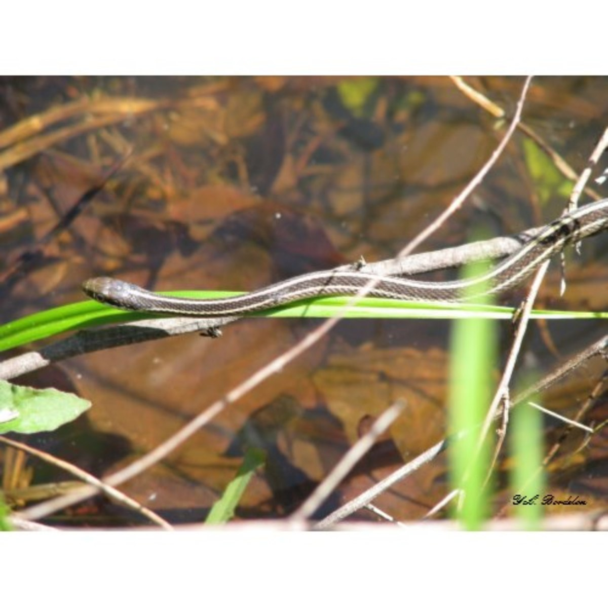 Ribbon snakes eat small prey such as cricket frogs. This individual was hunting one by the pond.