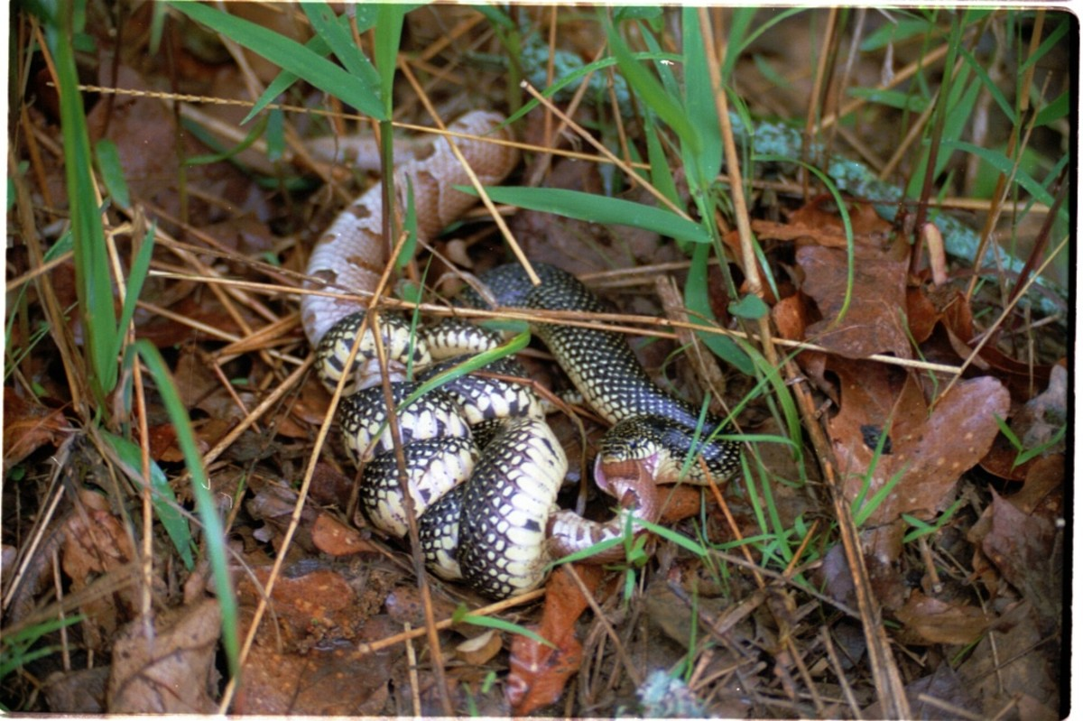 Kingsnakes often coil around a poisonous snake such as this copperhead and kill and eat it.