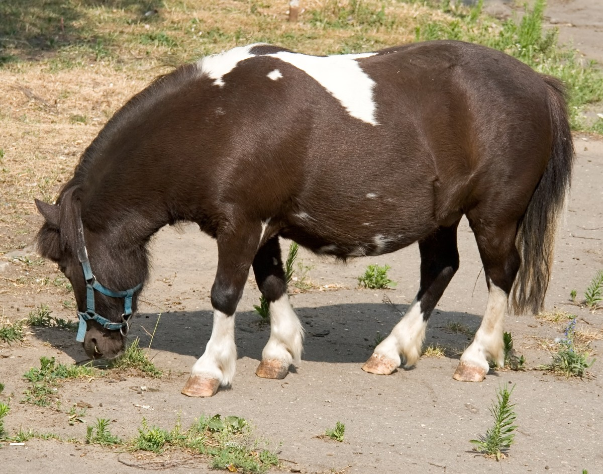 A pony. See the difference? Ponies are small horses but they are built differently, with thicker bodies and necks than miniature horses.