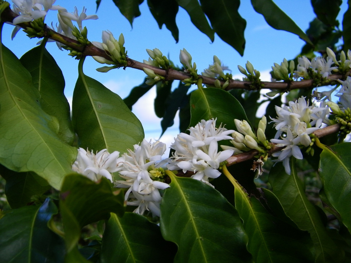 Blooming Coffea arabica