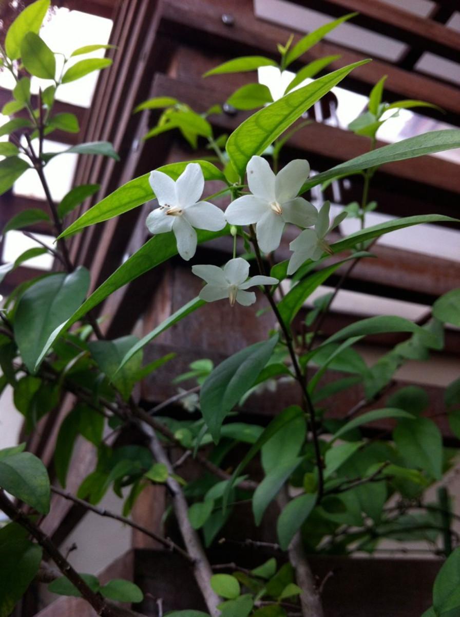 Jasmine grown indoors