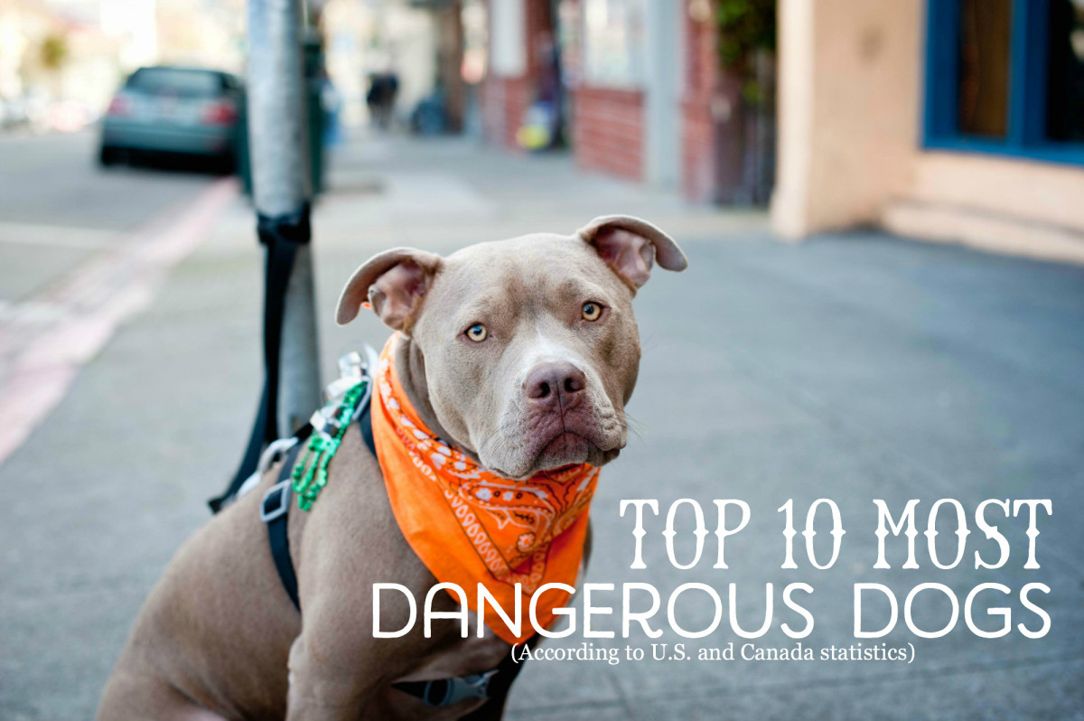 Top 10 Most Dangerous Dogs