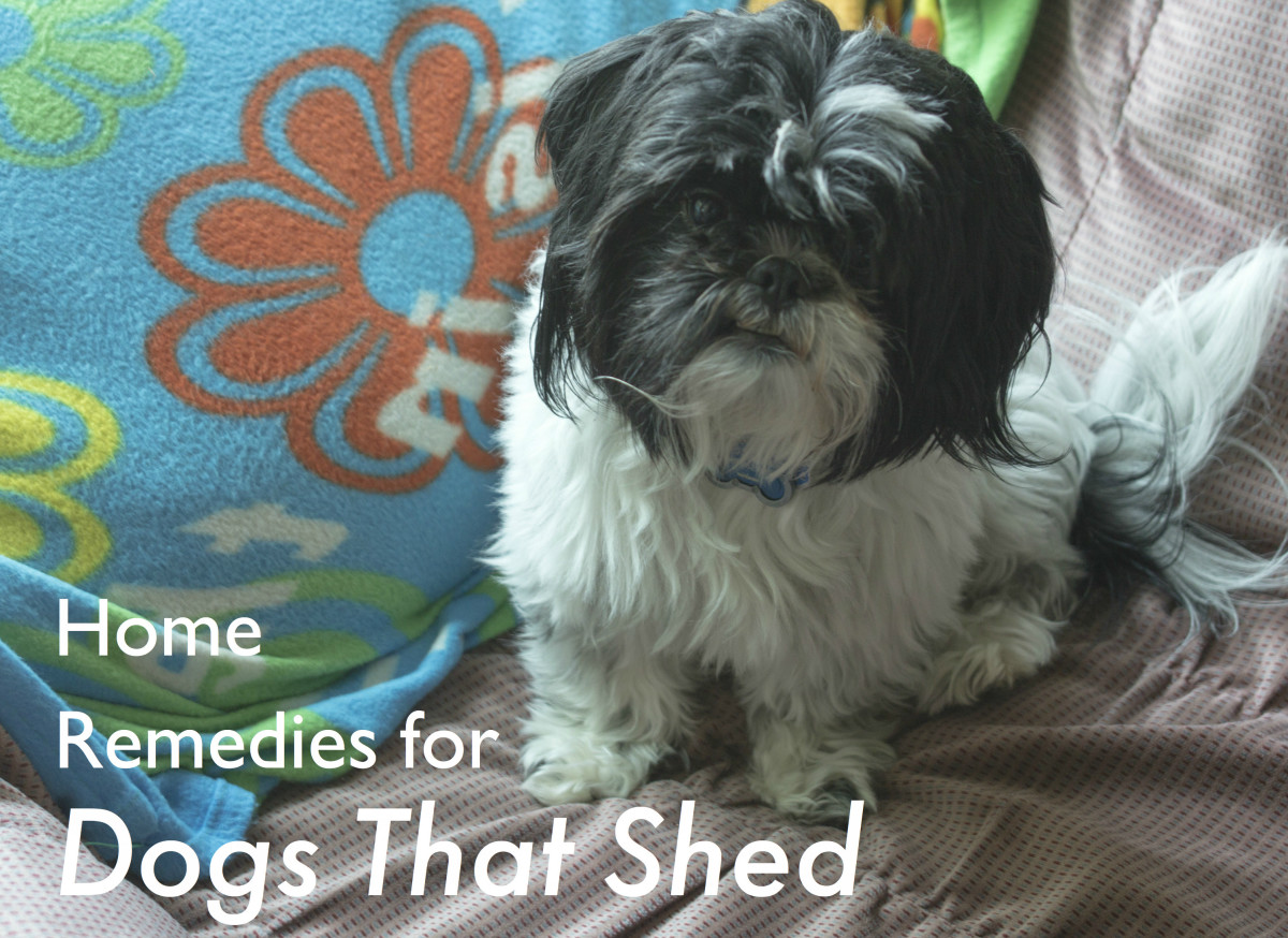 Certain dog breeds shed much more than others. Aside from choosing a non-shedding dog, there are simple grooming and feeding steps to minimize your dog's shedding problem.