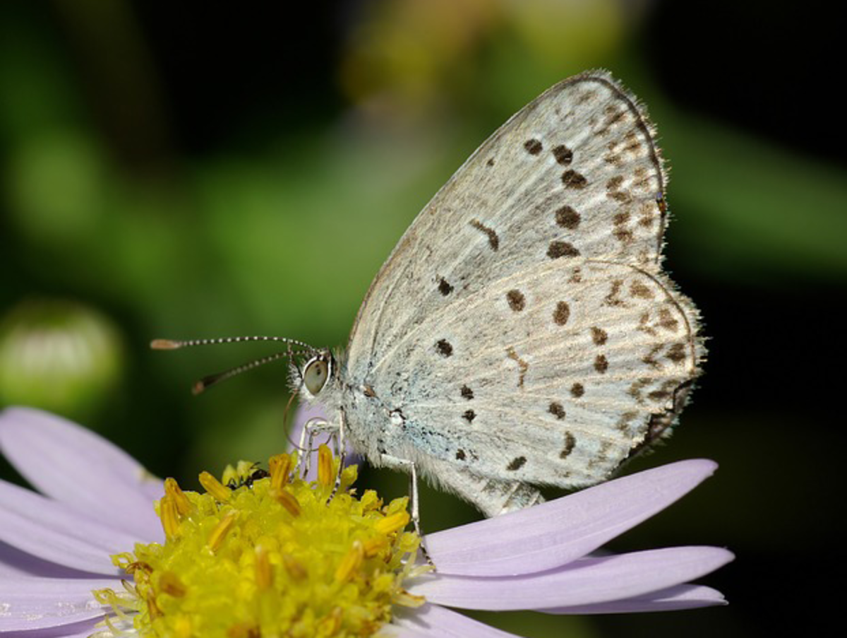 White Butterfly Drinking Flower Nectar
