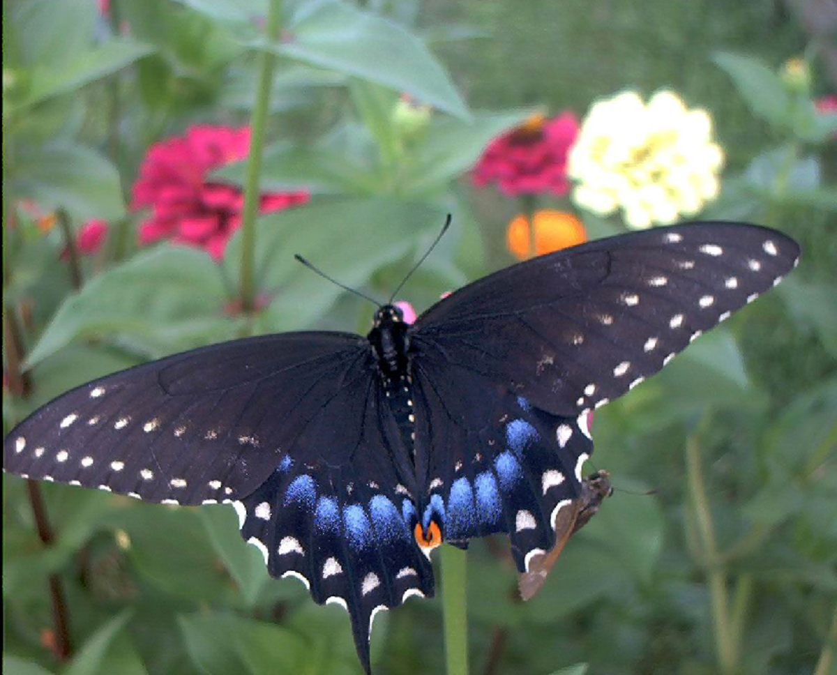 Black Swallow Tail Butterfly among Flowers