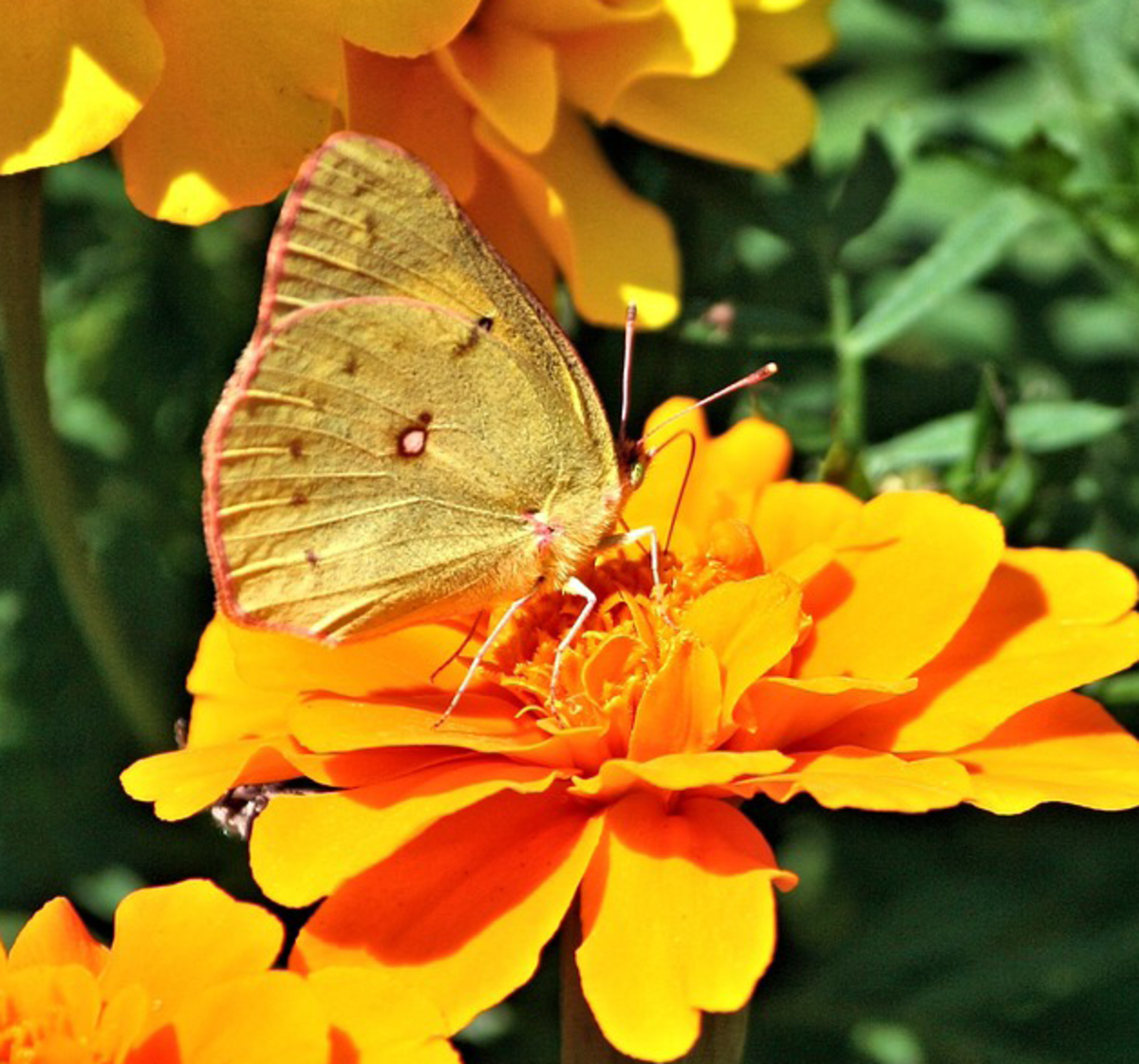 Yellow Butterfly Picture