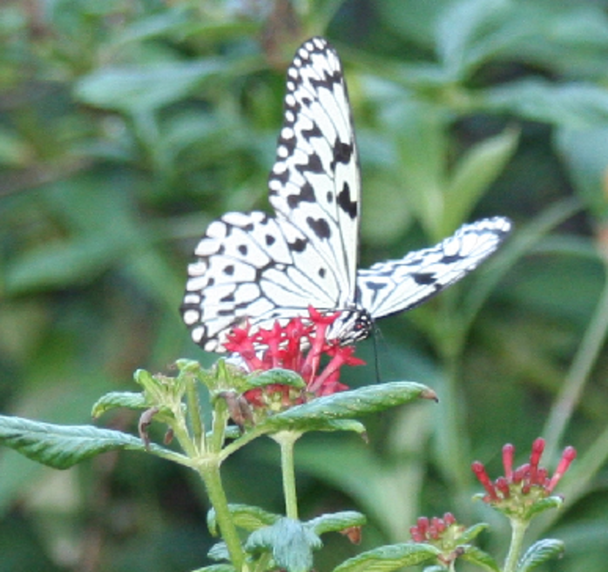 Black and White Polka Dot Butterfly