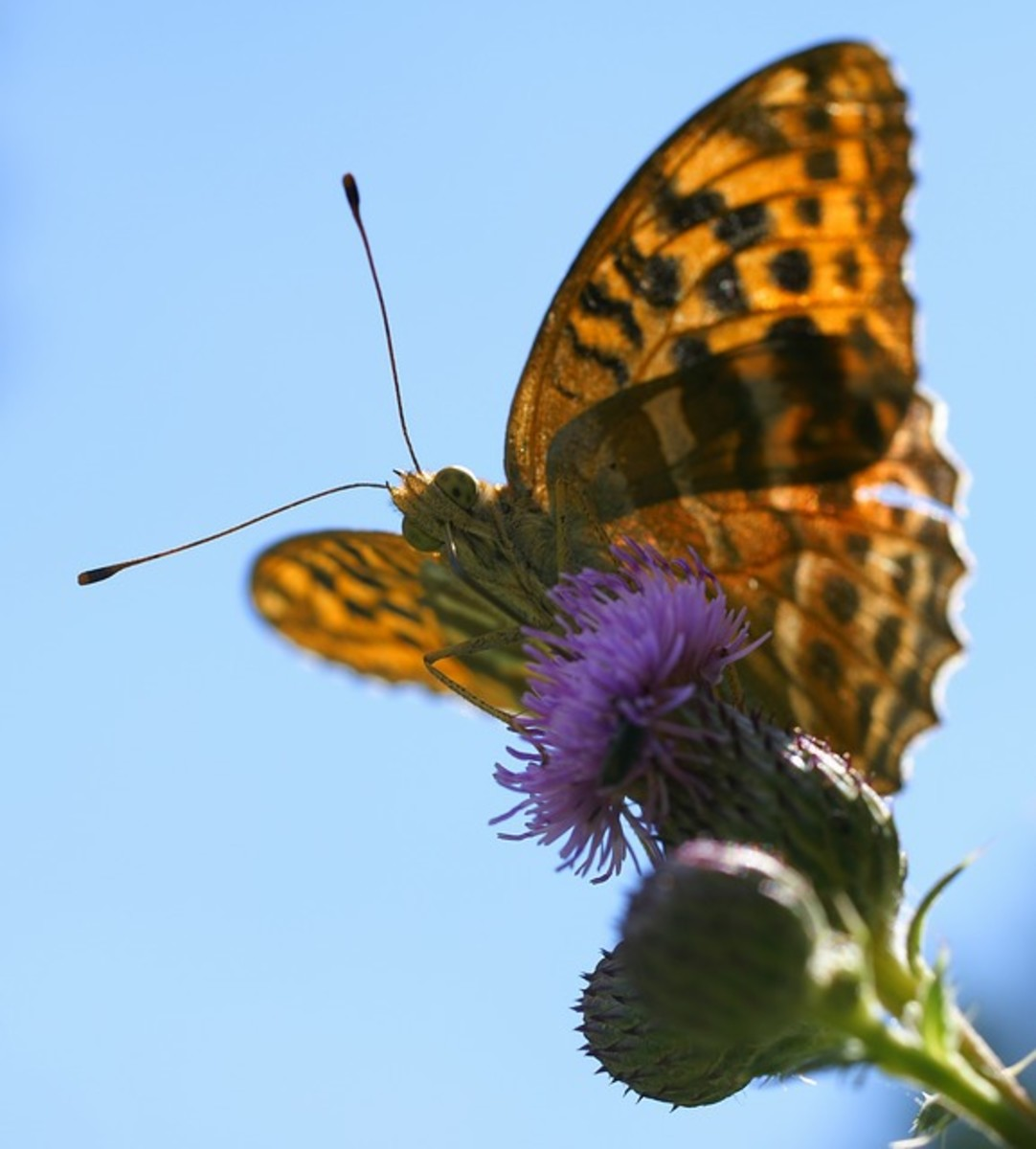 Orange Butterfly Looking at Camera - Silver-Washed Fritillary Butterfly (Argynnis paphia) 'My, What big eyes you have!'