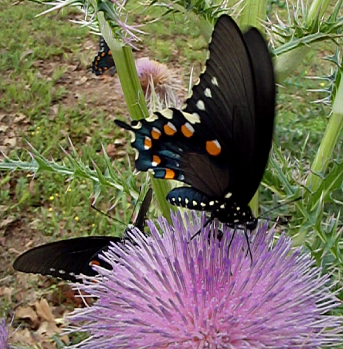 Image of Black Butterfly on a Thistle Flower