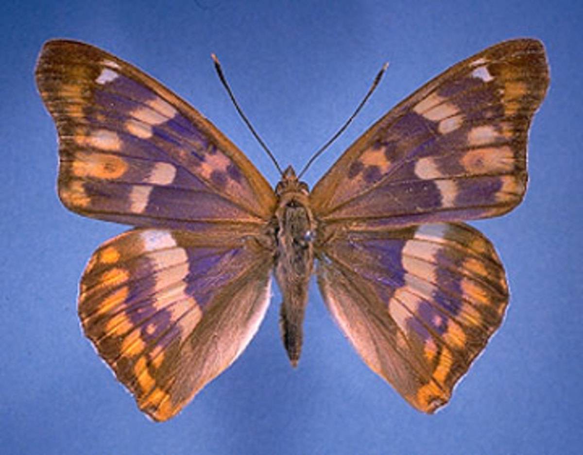 Freyer's Purple Emperor Butterfly