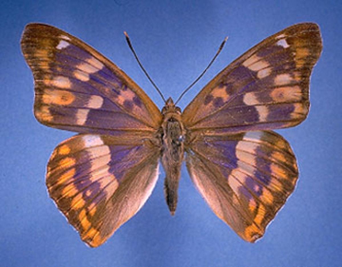 Freyer's Purple Emperor Butterfly