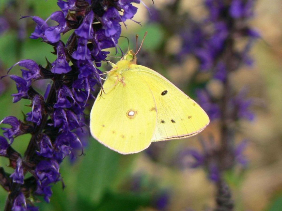 Clouded Sulpher Buttefly (Colias Philodice)