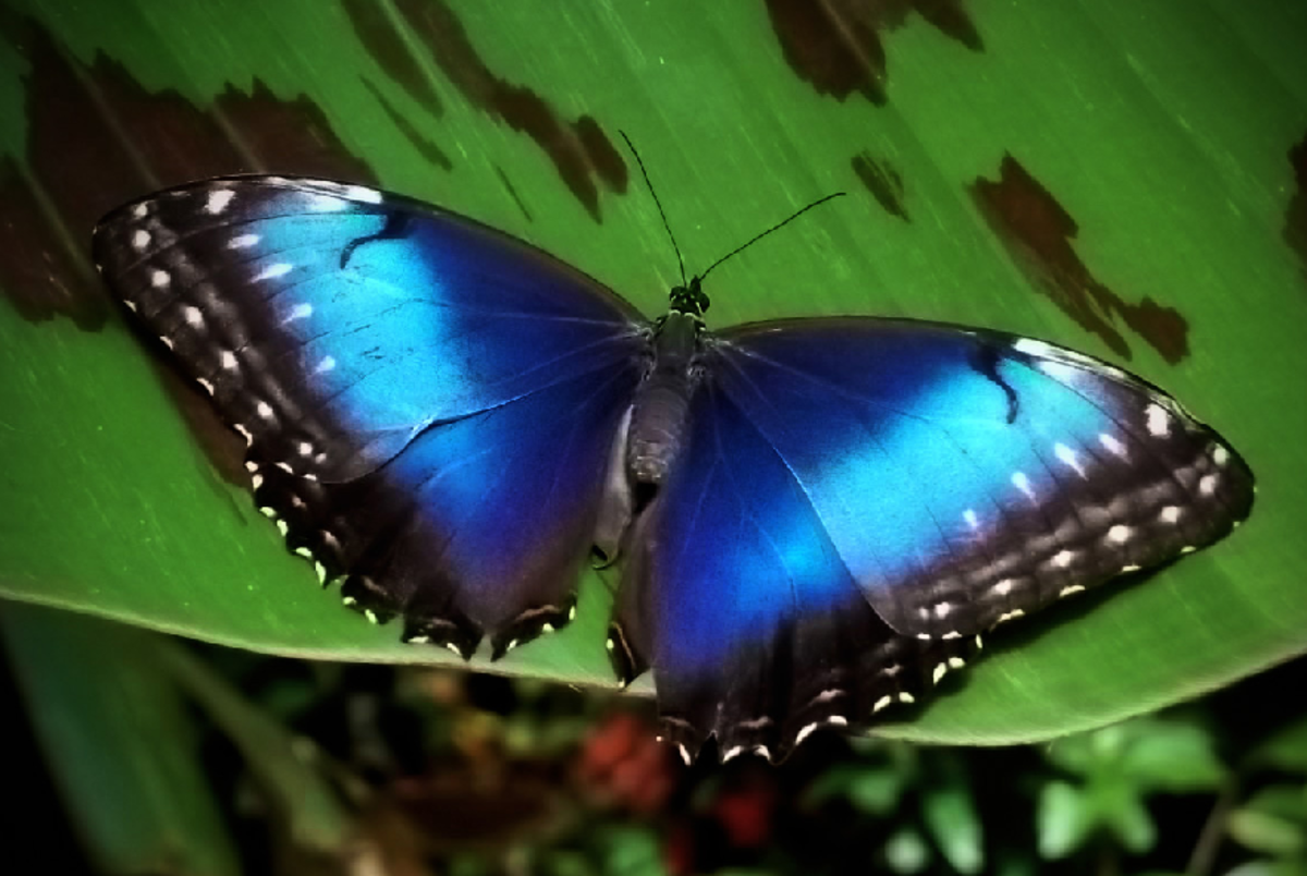 Neon Blue Butterfly on Leaf
