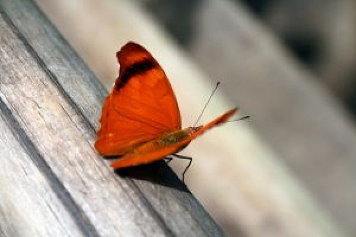 Red Butterfly Picture