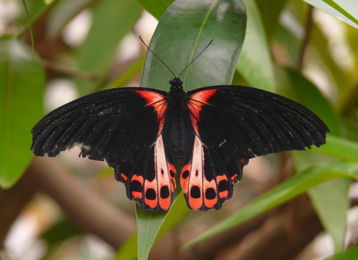 Scarlet Schwalbenschwanz Butterfly (Papilio Rumanzovia)