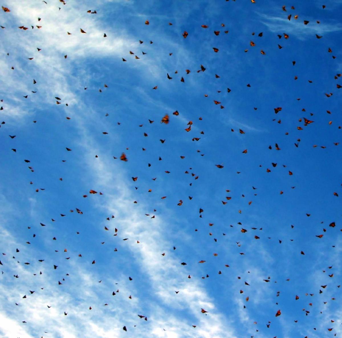 Swarm of Migrating Monarch Butterflies
