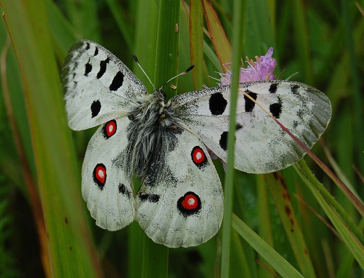 White Apollo Butterfly