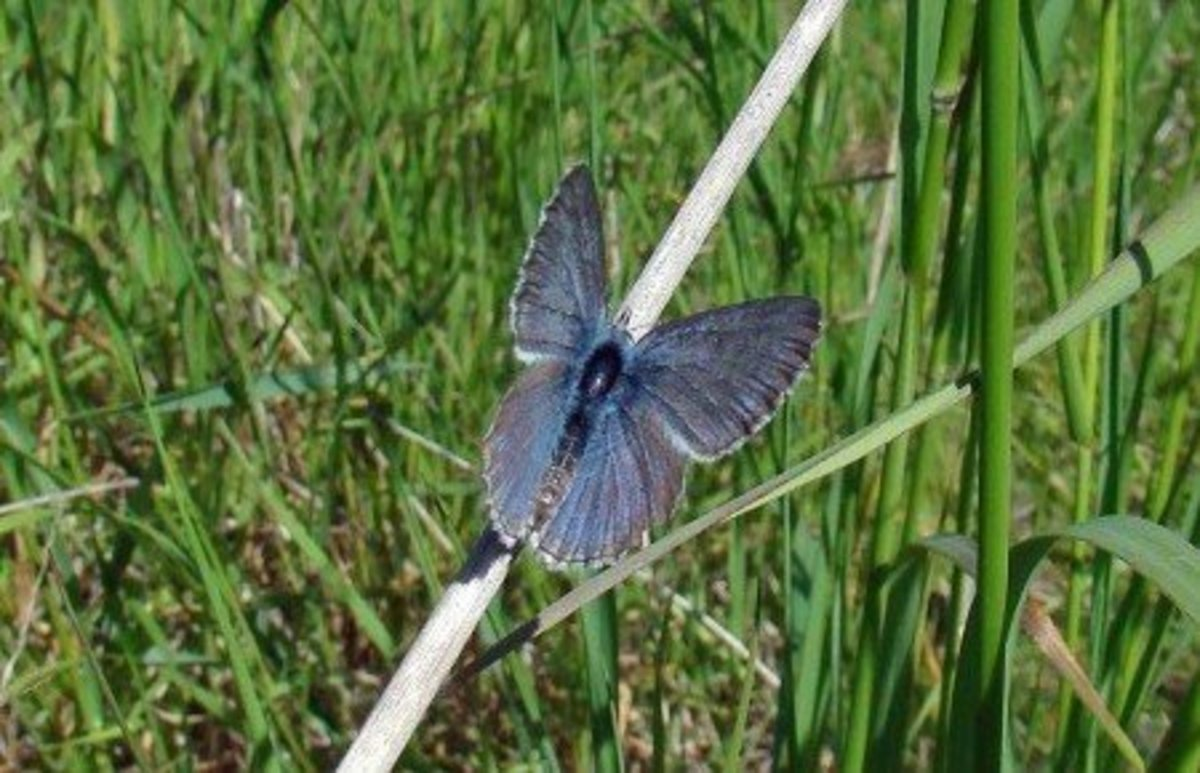Fenders Blue Butterfly (Icaricia Icarioides Fenderi) is an endangered species.