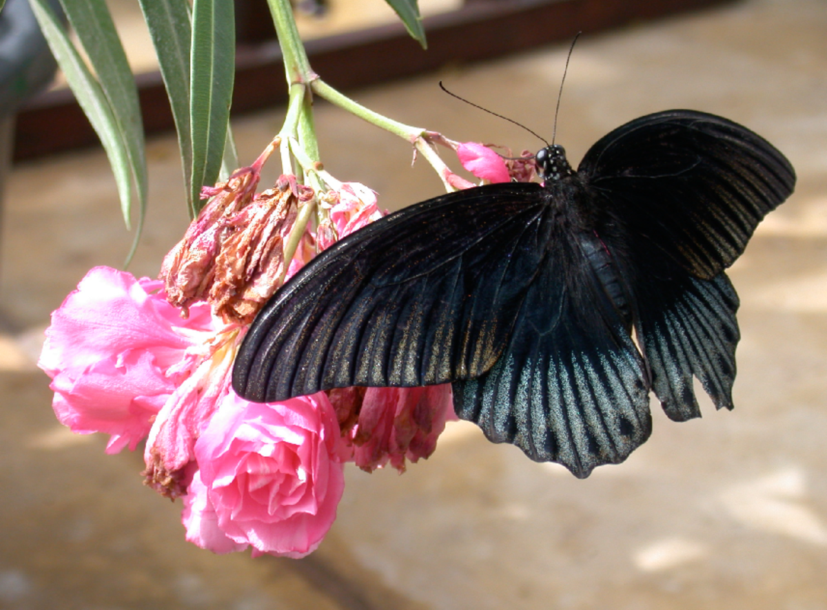 Black Butterfly Photo with Pink Flower