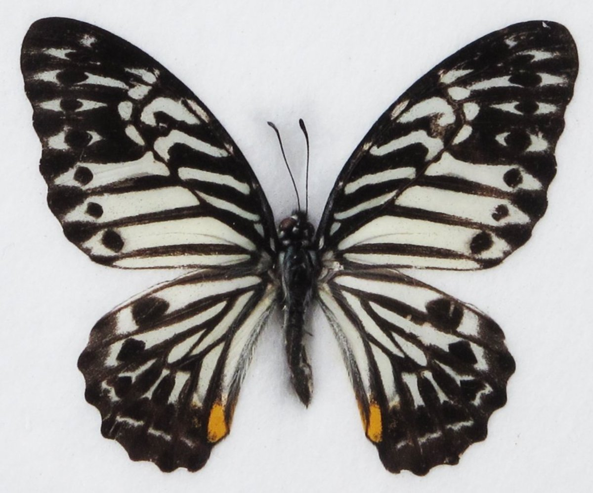 Great Zebra Butterfly Image