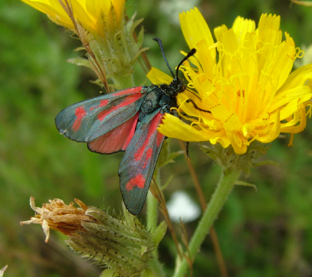 Red Butterfly and Yellow Flower