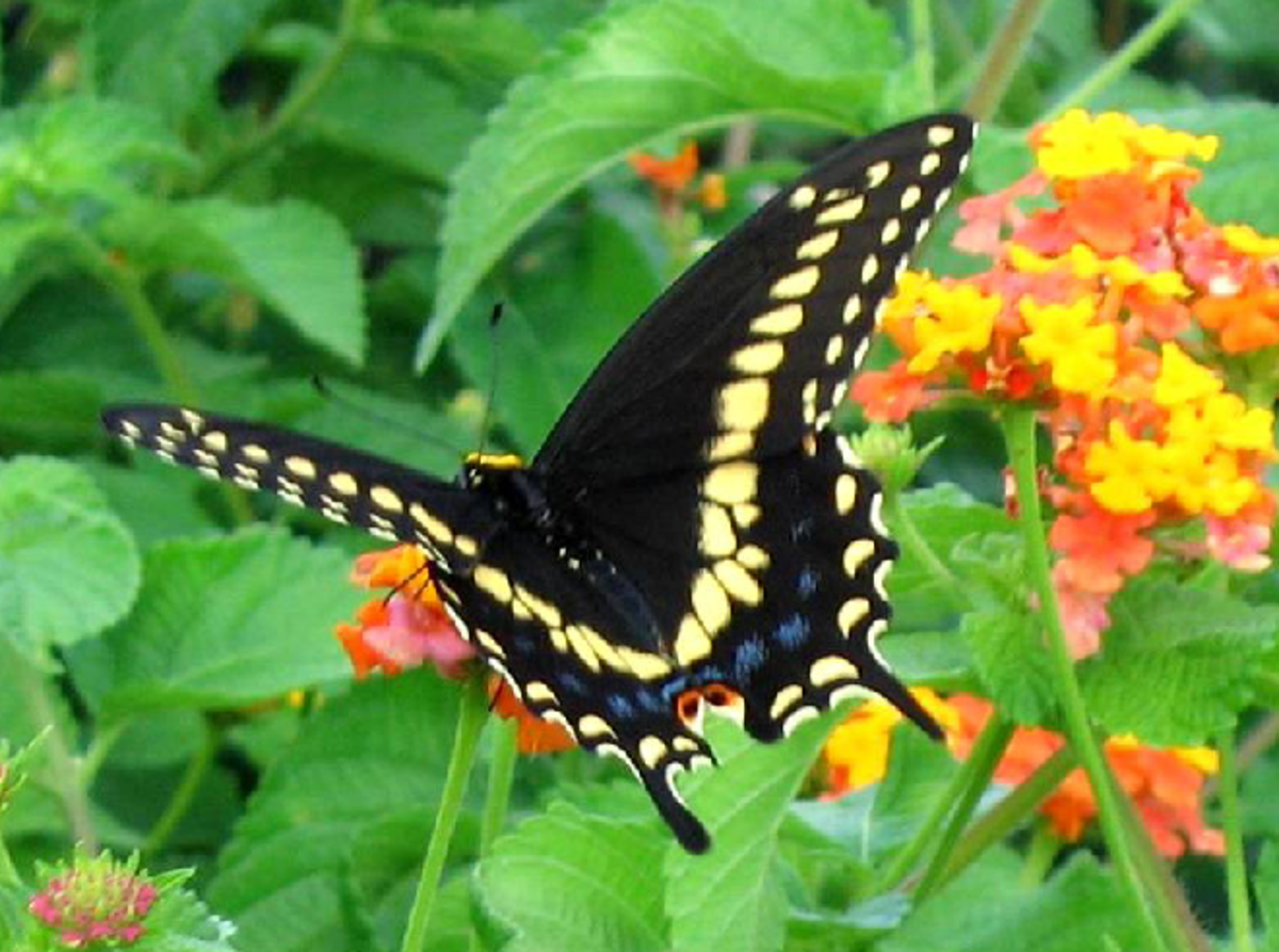Black Swallowtail Butterfly Pic with Wings Spread
