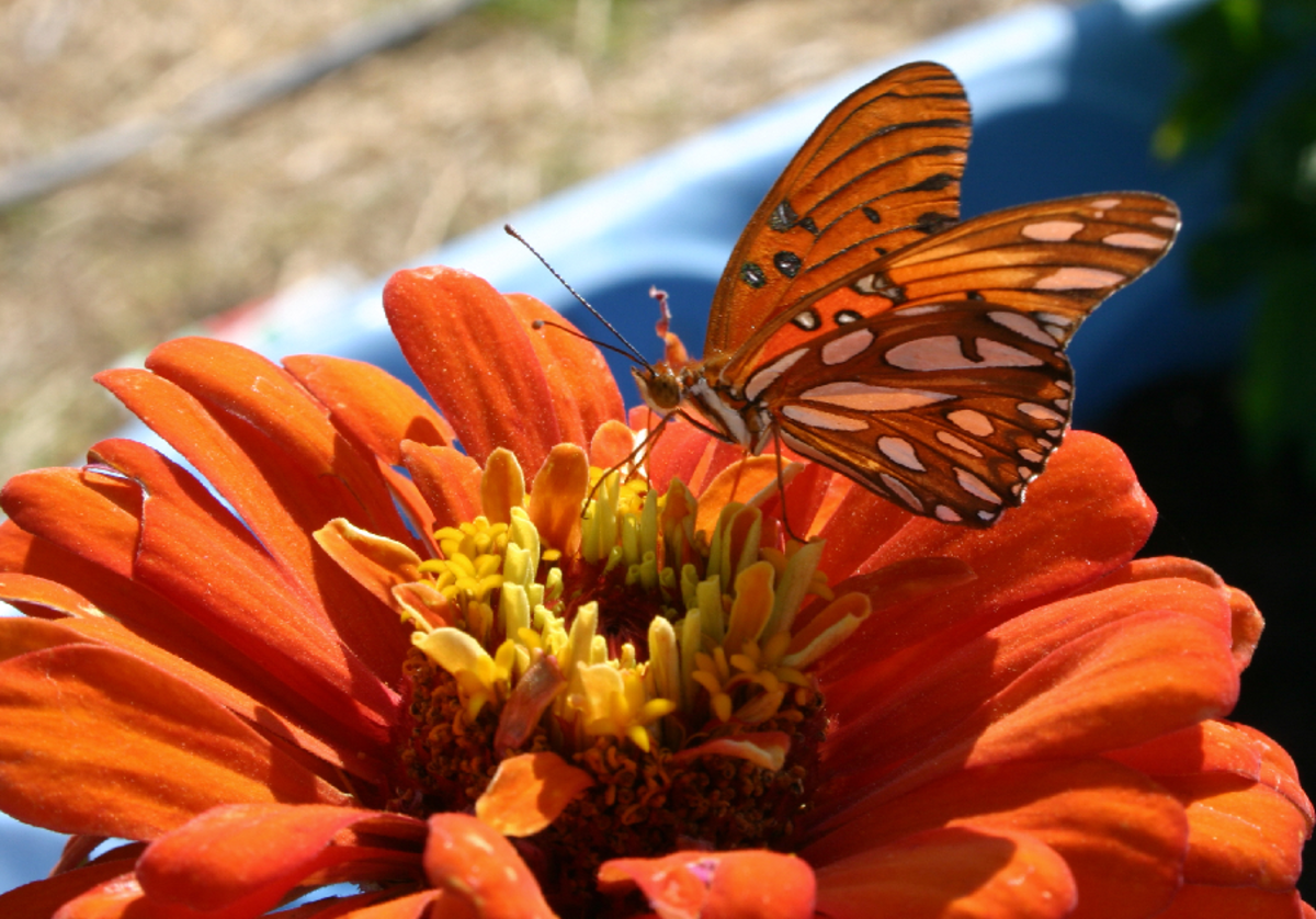Orange Butterfly on Orange Flower