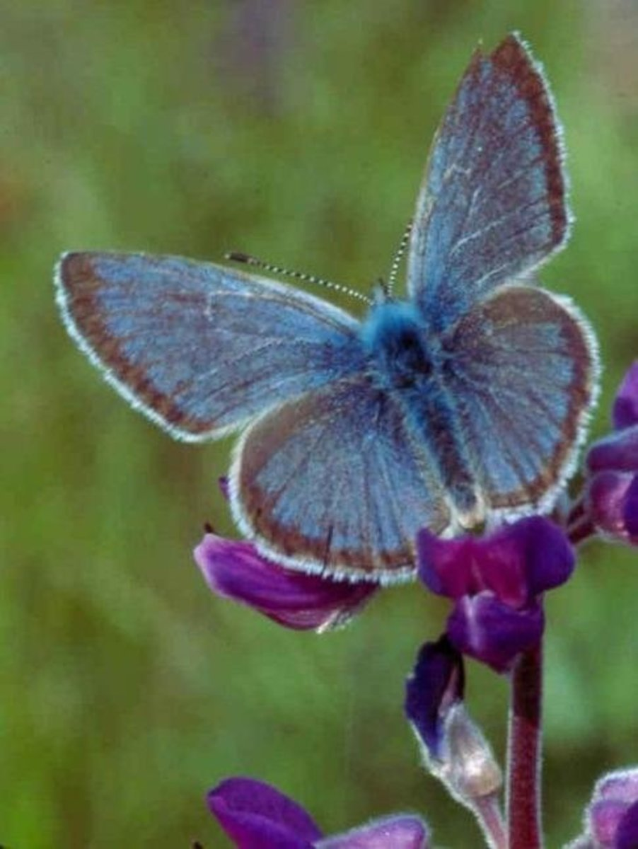 The Once-endangered Willamette Valley Fenders Blue Butterfly Icaricia Icarioides Fenderi)