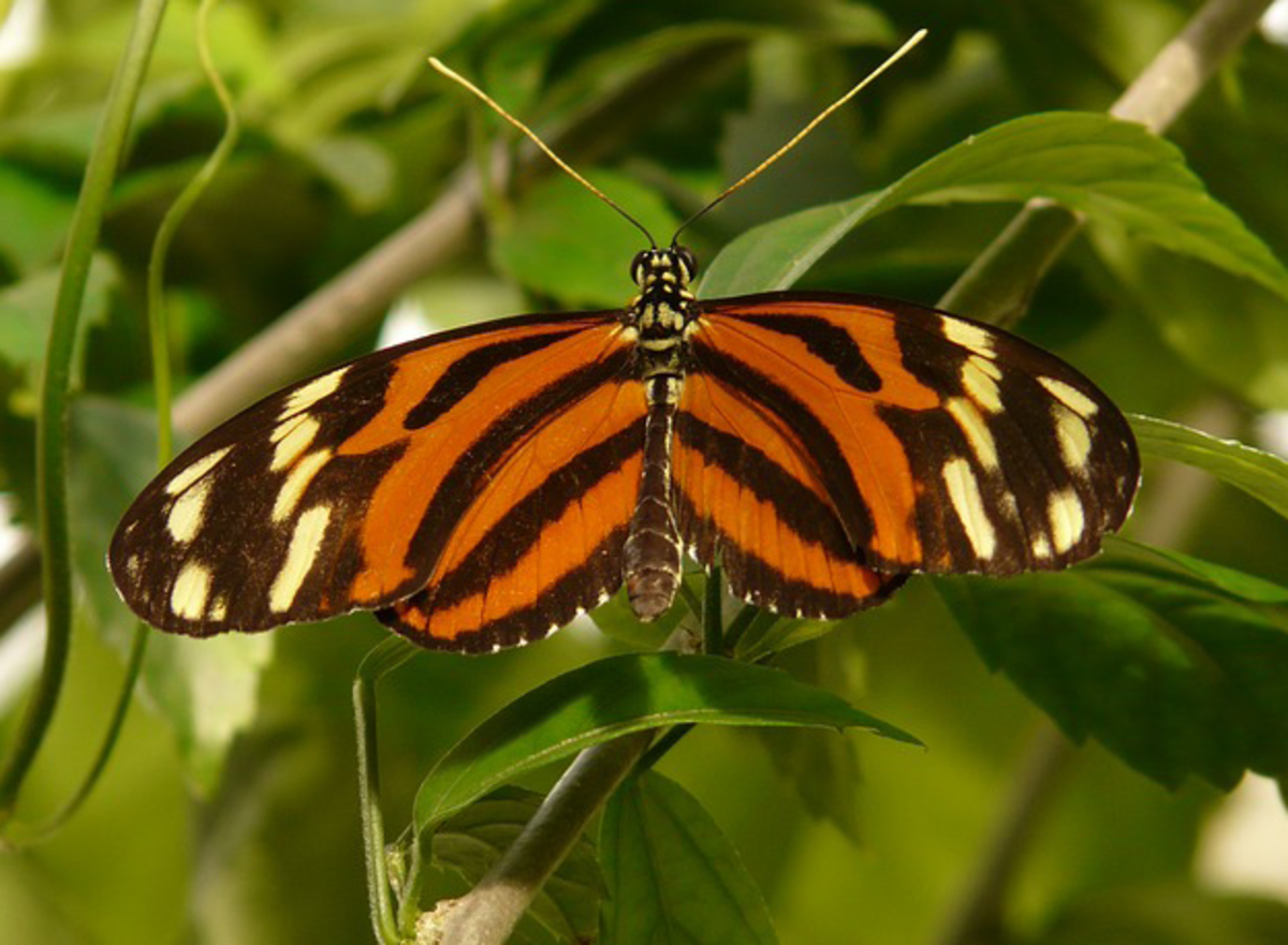 Tiger Passionsfalter Butterfly Picture (Heliconius Ismenius)