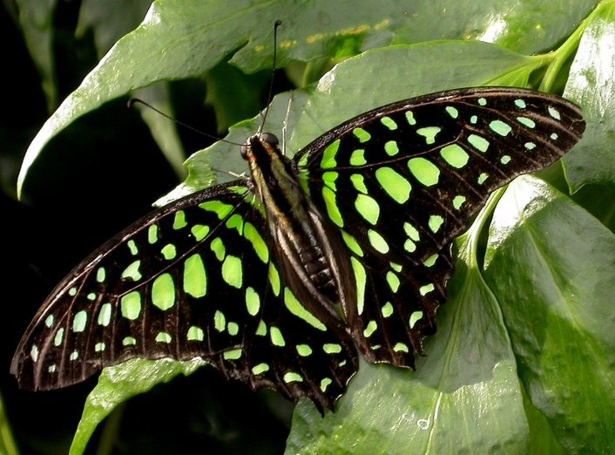 Butterfly with Green Dots