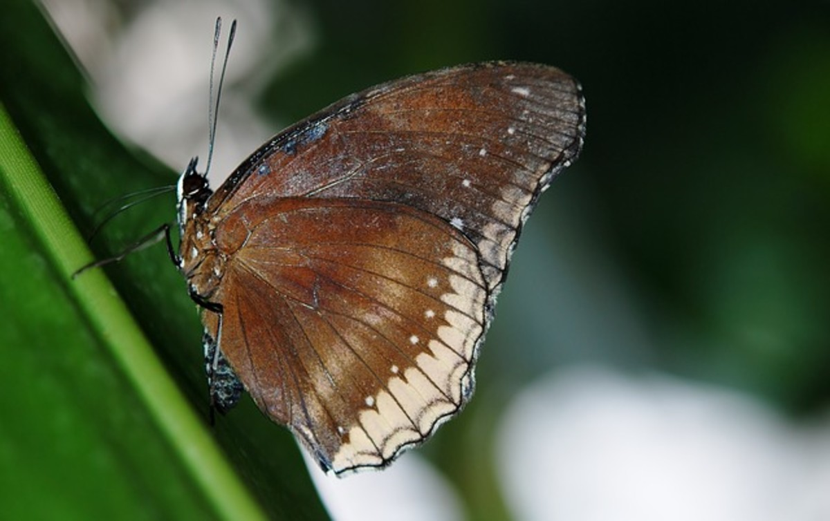 Palmfly Brown Butterfly (Elymnias Hypermnestra) in Nose-up Landing on a Leaf