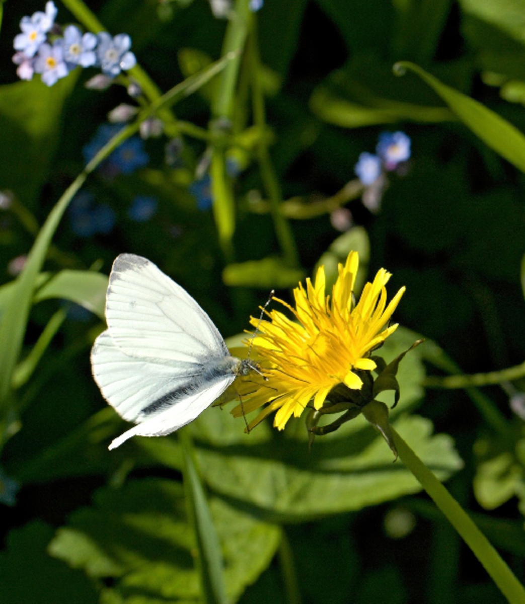 Pieridae White Butterfly and Dandelion