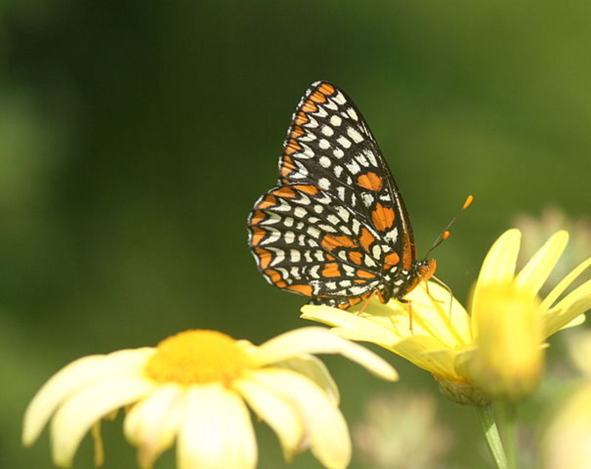 Baltimore Euphydryas Phaeton on a Daisy