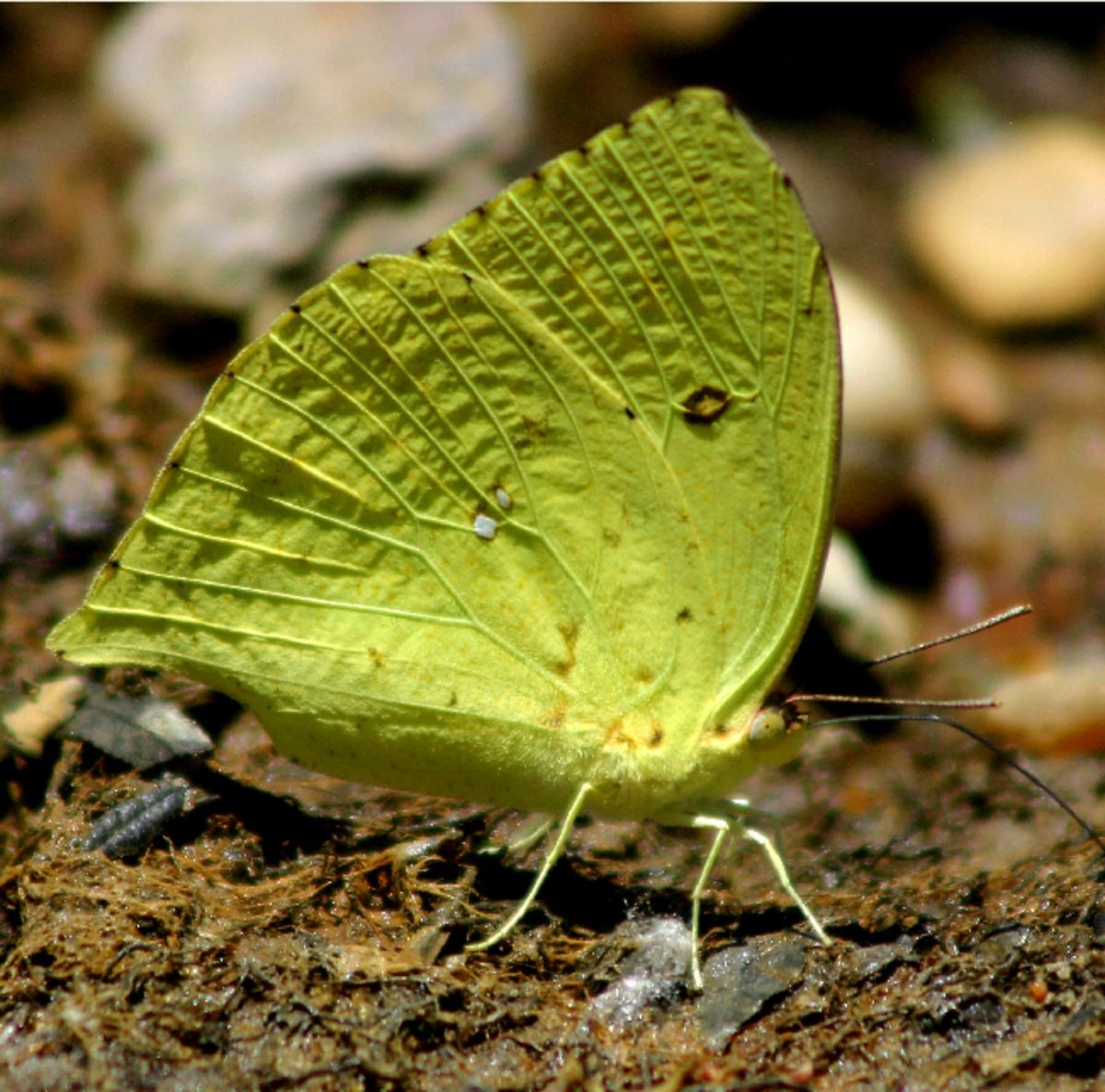 Big Green Butterfly